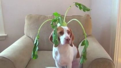 dog has ability to balance everything in living room - Video & GIFs   animals & pets,dogs,dog breeds,living room,luxurious furniture,apartments