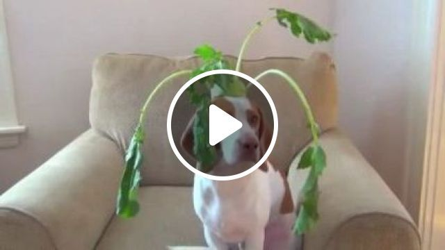 Dog Has Ability To Balance Everything In Living Room - Video & GIFs   animals & pets, dogs, dog breeds, living room, luxurious furniture, apartments