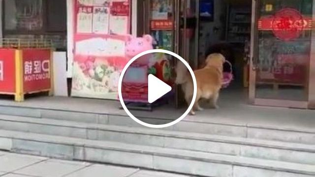 Smart Dog Can Go To Store To Buy Goods - Video & GIFs | animals & pets, dog breeds, smart, stores, purchase goods, household appliances
