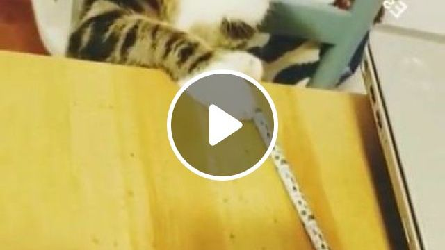Cat Likes To Play With Everything In Living Room - Video & GIFs | animals & pets, cats, cat breeds, living rooms, furniture, apartments