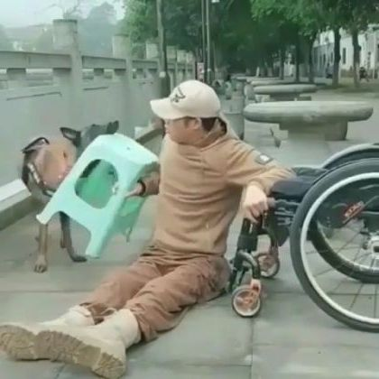 Good dog helps a paralyzed man in a wheelchair - Video & GIFs   animals & pets,dogs,dog breeds,paralyzed men,wheelchairs