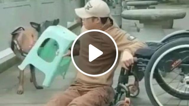 Good Dog Helps A Paralyzed Man In A Wheelchair - Video & GIFs   animals & pets, dogs, dog breeds, paralyzed men, wheelchairs