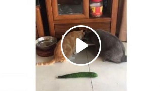 Why Are Cats Afraid Of Avocado In Kitchen - Video & GIFs   animals & pets, cats, cat breeds, kitchens, furniture, apartments