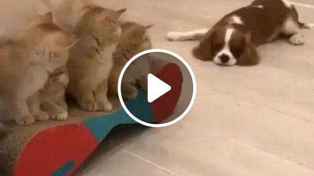 Dog Likes To Play With Kittens In Apartment - Video & GIFs   animals & pets, dogs, dog breeds, cats, apartments, luxurious furniture