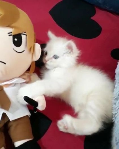 kitten likes toys in bedroom - Video & GIFs | animals & pets,kittens,cat breeds,toys,bedrooms,furniture,apartments