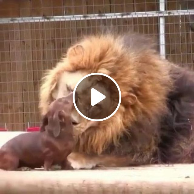 Dog And Lion Are Friends In Zoo - Video & GIFs   animals & pets, dogs, lions, friends, zoo