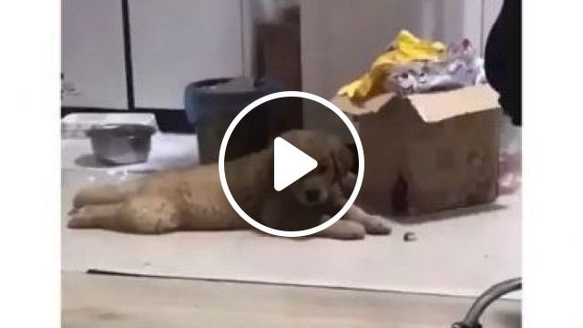 Happy Dog In Apartment - Video & GIFs   animals & pets, dogs, dog breeds, happy, apartments