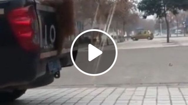 Dog Can Jump On A Pickup Truck - Video & GIFs   auto & technique, dogs, dog breeds, pickup trucks, terrain vehicles