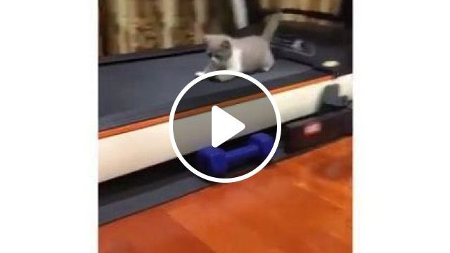 Cat likes to play with  treadmill in  living room - Funny Videos - funnylax.com - animals & pets,cats,cat breeds,treadmill,sports equipment,living room,furniture,apartments