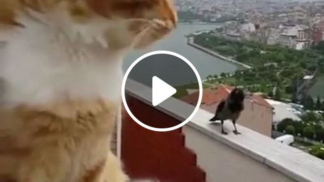 On The Roof Of Apartment Building,cat And Bird Are Exchanging Information - Video & GIFs   animals & pets, apartment buildings, luxury apartments, cats, birds, information exchange