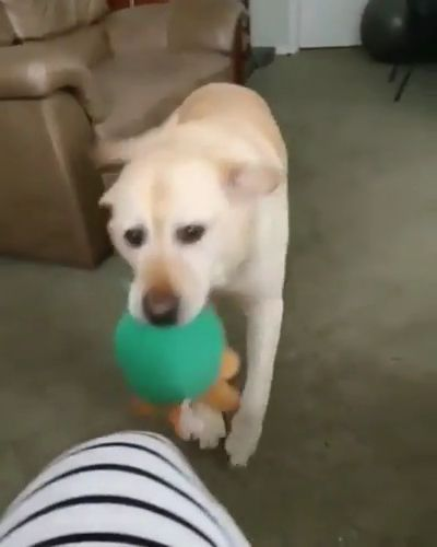 dog is happy to receive toys in living room