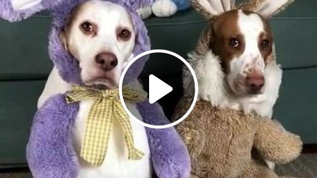 Fashionable Clothes Of Dogs In Apartment - Video & GIFs   animals & pets, fashion shirts, dogs, dog breeds, apartments, luxury furniture