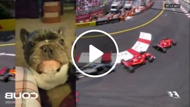 dog was happy to see Formula 1 cars on television - Funny Videos - funnylax.com - animals & pets,dogs,dog breeds,formula 1 cars,speed,engine technology,strong engines,televisions,high definition