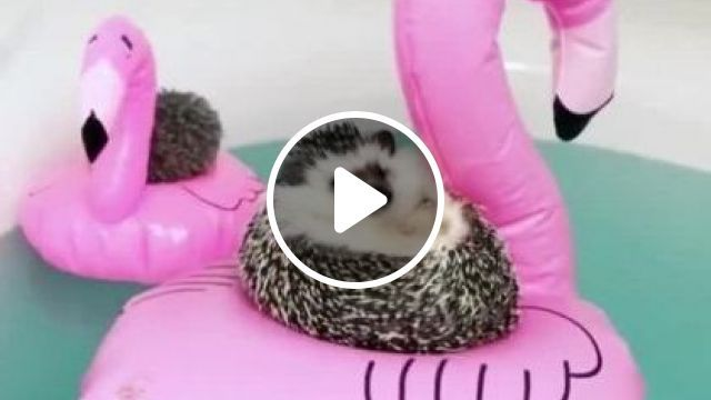 Porcupine In House Is Very Cool. - Video & GIFs   animals & pets, porcupines, houses, cooling
