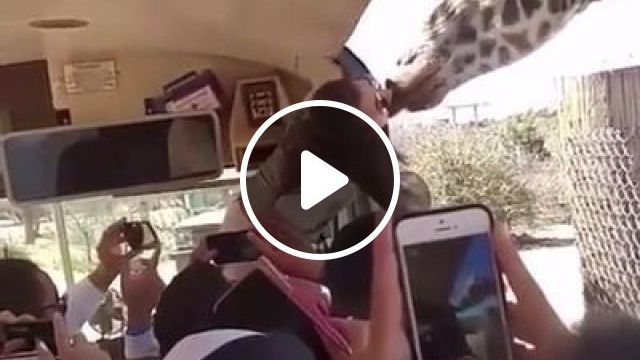Smartphone Recording, Tourists Playing With Giraffes - Video & GIFs   nature & travel, smartphone, video recorder, high definition, tourists, play, giraffe