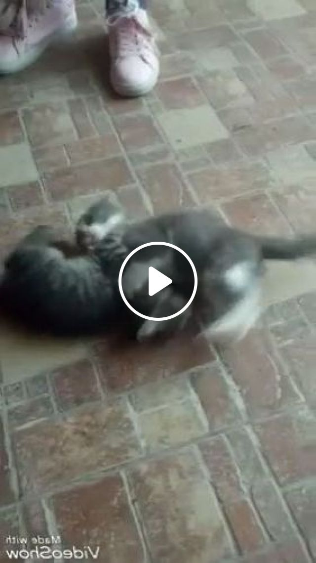 Cats Playing Together In Living Room - Video & GIFs   animals & pets, cats, together, living room