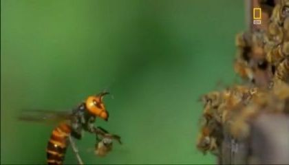 Honey bees resist attack of wasps