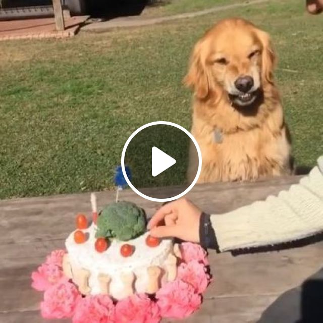 Dog Does Not Like A Man Touching His Birthday Cake - Video & GIFs | animals & pets, dogs, dog breeds, birthday cakes, pet care