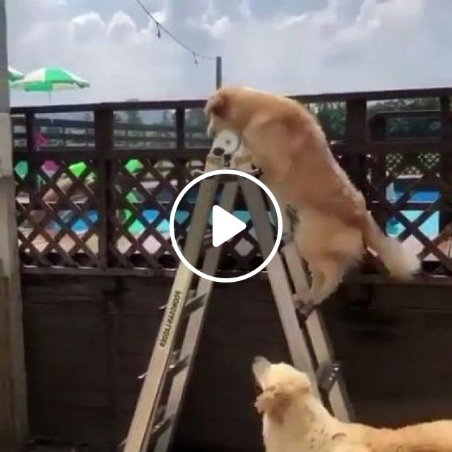 Smart Dog Jumped Into Pool At Resort. - Video & GIFs | animals & pets, smart dogs, yellow dogs, dog breeds, swimming pools, luxury resorts, travel switzerland