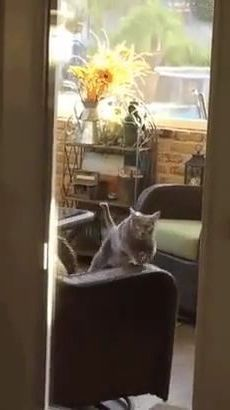 Smart cat practicing exercise to lose weight in living room - Video & GIFs   animals & pets,cats,smart,exercise,fitness,weight loss,good for health,living room