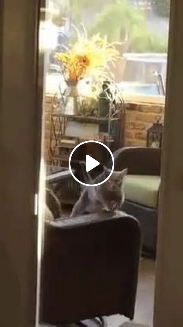 Smart Cat Practicing Exercise To Lose Weight In Living Room - Video & GIFs   animals & pets, cats, smart, exercise, fitness, weight loss, good for health, living room