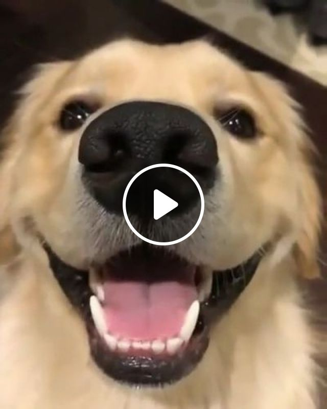 Adorable Dog Is Always Happy - Video & GIFs | animals & pets, dogs, dog breeds, adorable