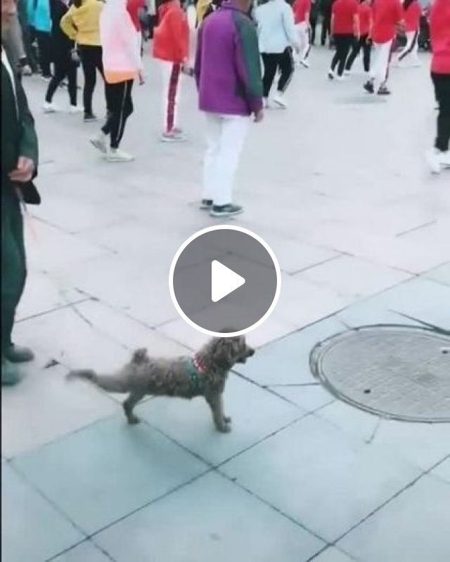 Dog Also Wants To Exercise Like Everyone Else - Video & GIFs   animals & pets, dogs, dog breeds, exercise, health, everyone, fashion men and women