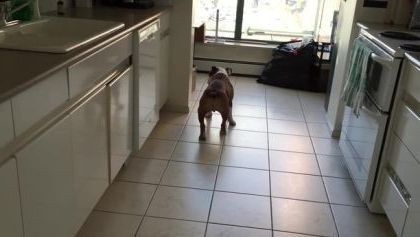 dog likes to walk in kitchen - Video & GIFs | animals & pets,dogs,dog breeds,kitchens,kitchen equipment,apartments,furniture