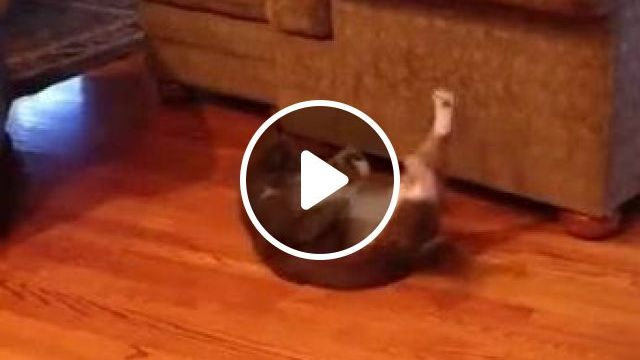 In Apartment,cat Is Too Fat To Exercise And Lose Weight And Protect Health - Video & GIFs | animals & pets, cats, cat breeds, exercise, weight loss, good for health, apartments, furniture