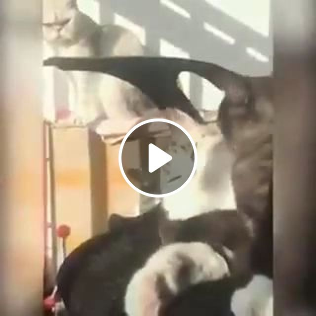 Cat Is Sad To See Other Cats Playing Together In Living Room - Video & GIFs   animals & pets, cats, cat breeds, living rooms, apartments, furniture