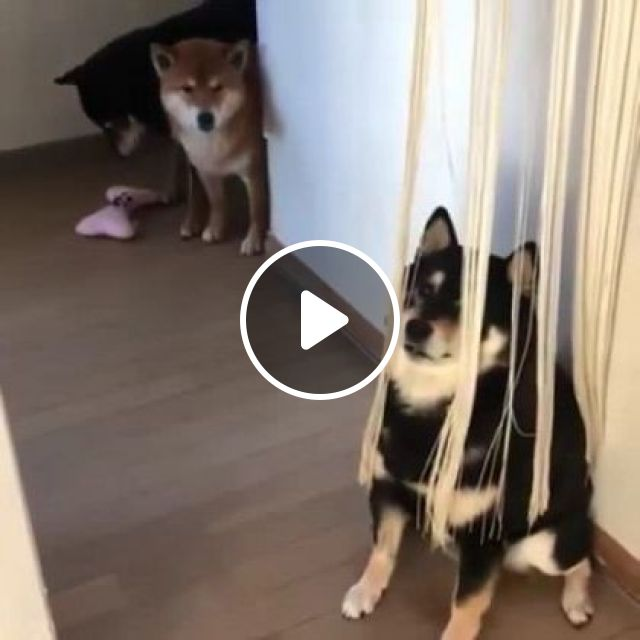 Dog Is Thinking, No One Can See Me In Living Room - Video & GIFs | animals & pets, dogs, dog breeds, living room