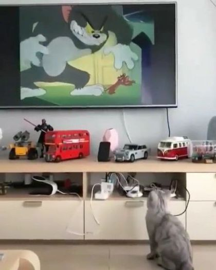 cat is watching cartoons on the big screen TV in apartment