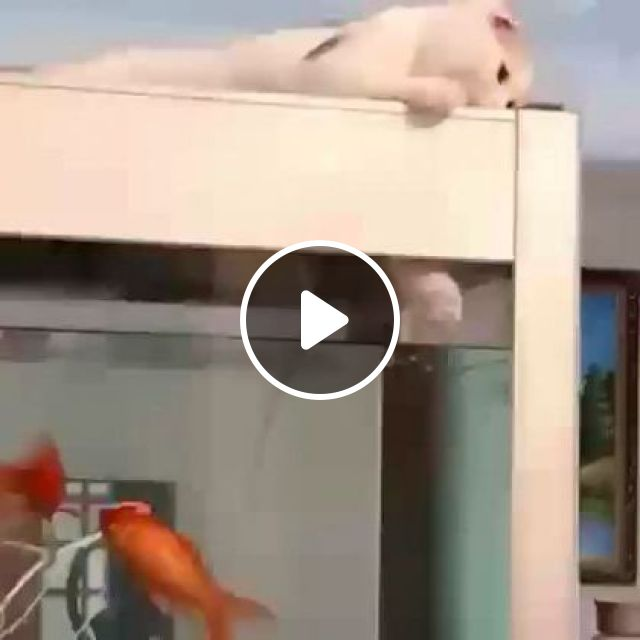 Cat Likes To Play With Fish In Aquarium In Apartment - Video & GIFs | animals & pets, cats, cat breeds, ornamental fish, aquariums, apartments