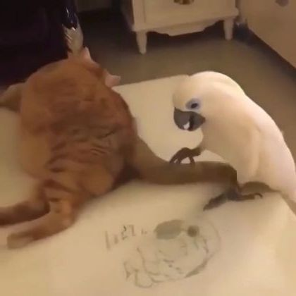 Parrot likes to play with cats in kitchen