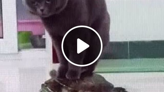 Turtle Carries Cat To Travel Everywhere - Video & GIFs | animals & pets, cats, cat breeds, tourism, turtles
