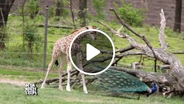 Giraffe And Peacock In Zoo - Video & GIFs | animals & pets, post, york, new, wildlife, pets and animals, cute animal video, funny animal video, animals video, cute video, funny video, peacock, giraffe, bronx zoo