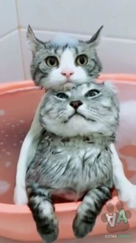 Cats in a basin of water