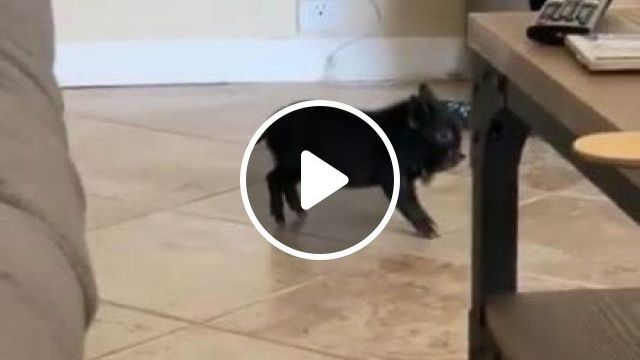 Pig stopping on the spot in  apartment - Funny Videos - funnylax.com - animals & pets,pig,apartments,furniture