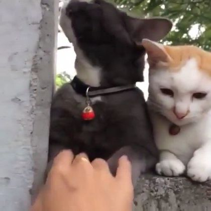 white cat does not want girl to play with black cat