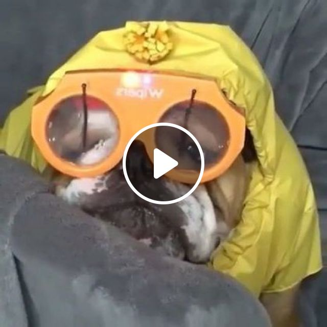Hat Helps Dogs To Walk In Rain Without Getting Wet - Video & GIFs | animals & pets, pets, dogs, dog breeds