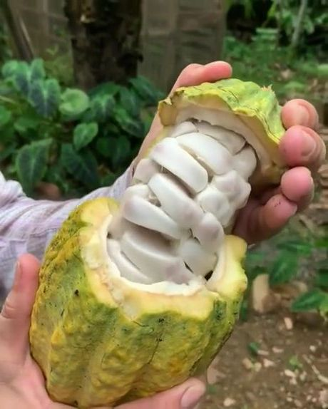 Inside of a cacao fruit - Funny Videos - funnylax.com - art & design,good food,fresh fruit