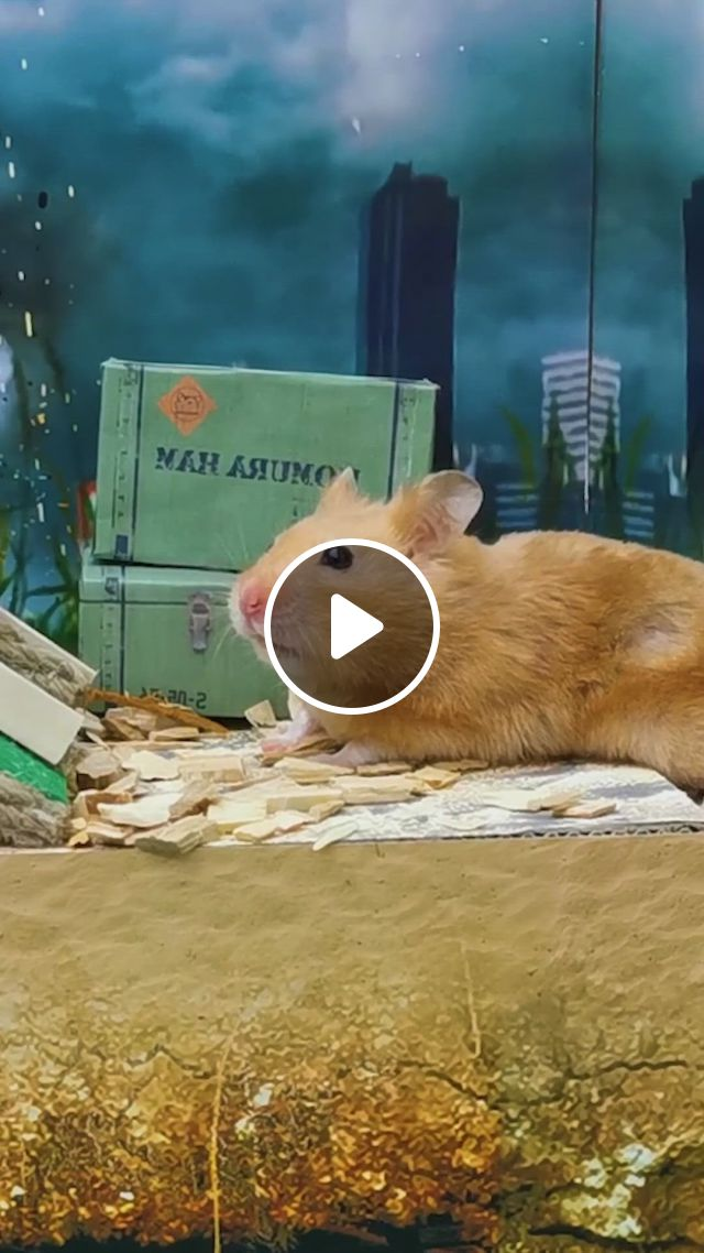 Hamster Stalker Pixie In The Area 51 - Video & GIFs   funny hamsters, cute hamsters, hamsters video